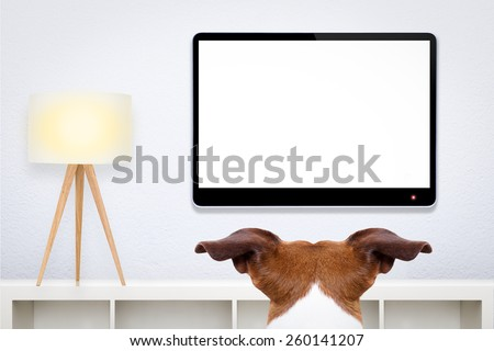jack russell, dog in front of a blank and empty tv television or pc computer screen, and watching  , in his living room - stock photo