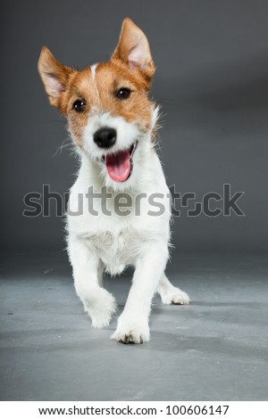 Jack russell dog isolated on grey background. Studio shot. - stock photo