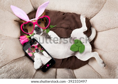 jack russell  dog looking and staring at you   with easter bunny ears taking a selfie and  a rose in mouth - stock photo
