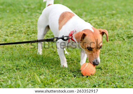 Jack Russell dog playing with ball in park - stock photo