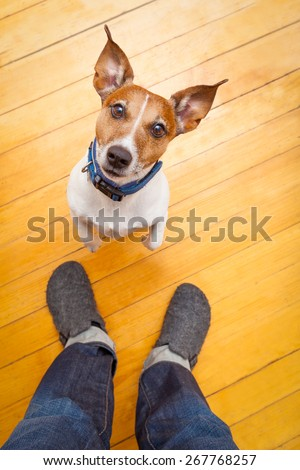 jack russell dog ready for a walk with owner begging, sitting and waiting ,on the floor inside their home - stock photo