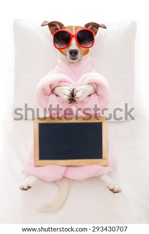 jack russell dog relaxing  with a prayer yoga pose with paws, in a spa wellness center, wearing a  bathrobe and sunglasses, holding an empty blank placard or blackboard - stock photo