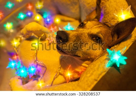 jack russell dog resting and enjoying this christmas holidays with fancy fairy lights and looking cute at you - stock photo