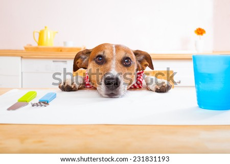 jack russell dog sitting at table begging to eat , tablecloths included - stock photo