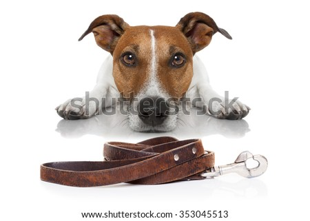 jack russell dog waiting for a walk with owner with leash - stock photo
