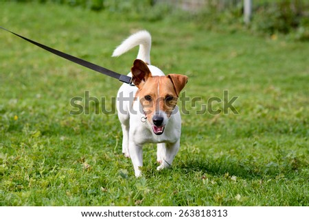Jack Russell dog walking on lead  in park - stock photo