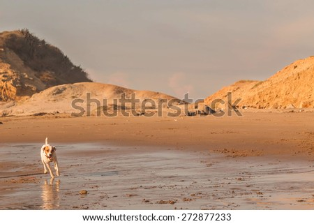 Jack Russell Female Terrier Dog Runs, Jumps And Plays   - stock photo