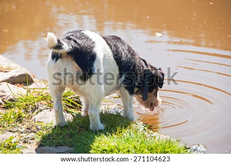 Jack Russell having a drink of water from a garden pond - stock photo