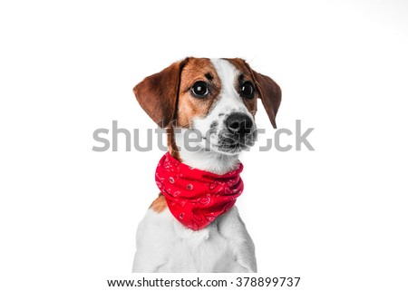 Jack Russell in red bandana - stock photo