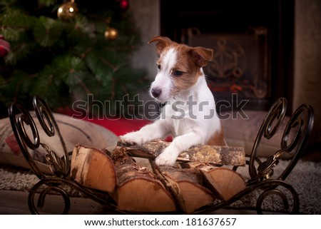 Jack Russell puppy, fireplace, Christmas and New Year - stock photo