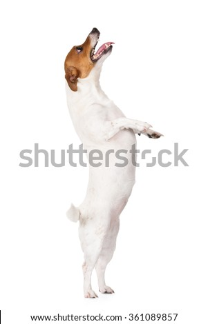 jack russell terrier dog begging on white - stock photo