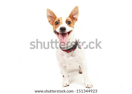 Jack Russell Terrier  dog on a white background - stock photo