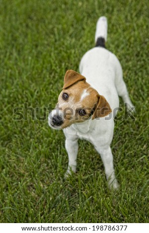 Jack Russell Terrier dog outdoors cocking head to the side and looking up in green grass - stock photo