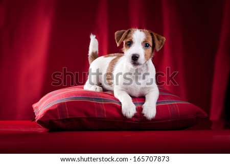 Jack Russell terrier, dog, puppy, playful, cloth, gold, background - stock photo
