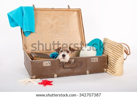 Jack Russell Terrier goes on holidays. - stock photo