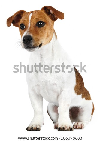 Jack Russell Terrier in front of white background - stock photo