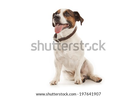 Jack Russell terrier isolatad over white background - stock photo