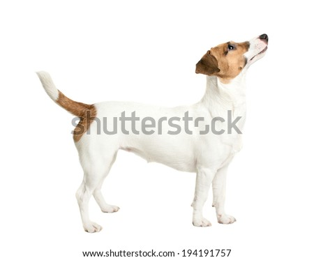Jack Russell Terrier looking up with interested look - stock photo