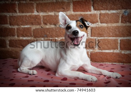 Jack russell terrier lying on brick background - stock photo