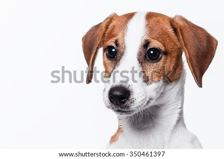 Jack Russell Terrier posing - stock photo