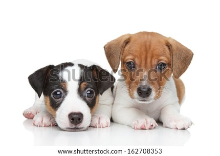 Jack Russell terrier puppies. Close-up portrait on white background - stock photo
