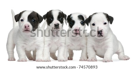 Jack Russell Terrier puppies, 5 weeks old, in front of white background - stock photo