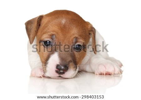 Jack Russell terrier puppy lying on white background - stock photo
