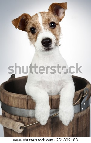 Jack Russell Terrier puppy (3 months old)  - stock photo