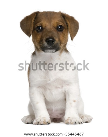 Jack Russell terrier puppy, 3 months old, sitting against white background - stock photo