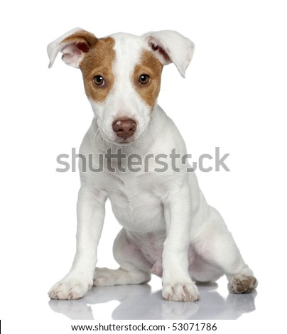 Jack Russell terrier puppy, 4 months old, sitting in front of white background - stock photo