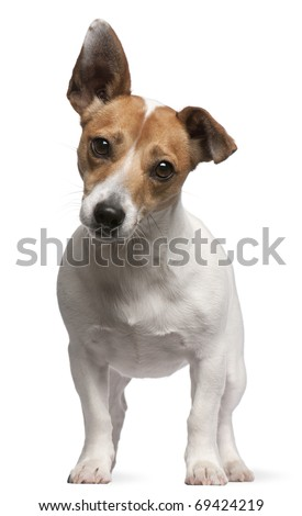 Jack Russell Terrier puppy, 2 months old, standing in front of white background - stock photo
