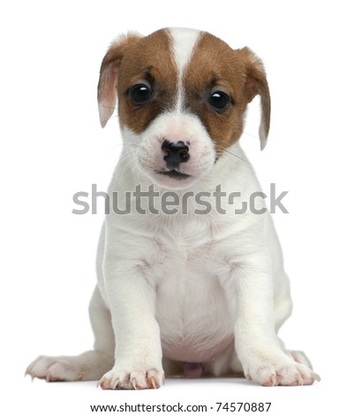 Jack Russell Terrier puppy, 7 weeks old, sitting in front of white background - stock photo