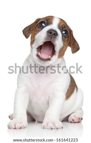 Jack Russell terrier puppy yawn on a white background - stock photo