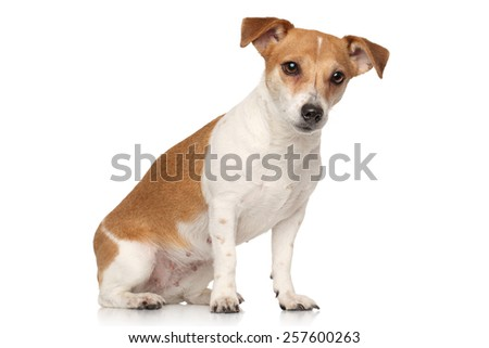 Jack Russell terrier sits in front of white background - stock photo