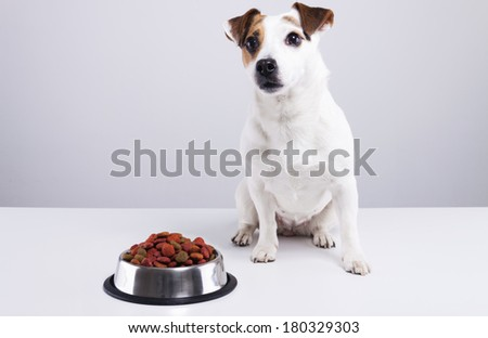 Jack Russell terrier sitting behind a full bowl of dog food. - stock photo