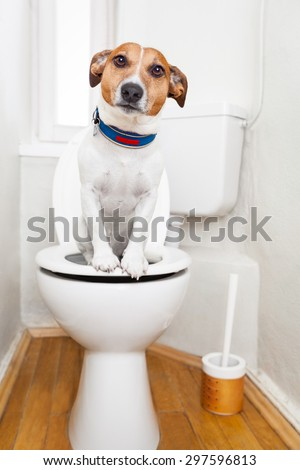 jack russell terrier, sitting on a toilet seat with digestion problems or constipation looking very sad - stock photo
