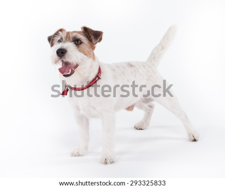 Jack Russell Terrier standing in front of white background, 5 years old. - stock photo