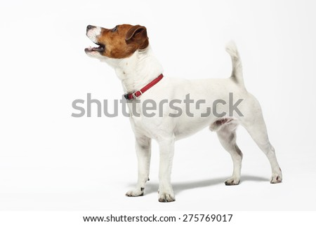 Jack Russell terrier. The dog breed Jack Russell terrier white with a brown patch on a white background - stock photo