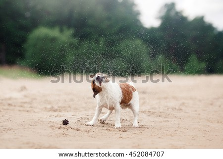 Jack Russell Terrier walking, active dog playing on the beach in summer - stock photo