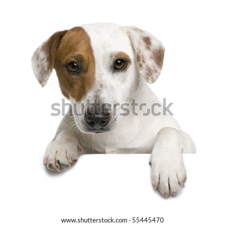 Jack Russell terrier, 1 year old, against white background - stock photo
