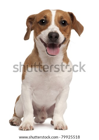 Jack Russell Terrier, 1 year old, sitting in front of white background - stock photo