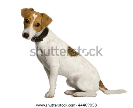 Jack Russell Terrier, 1 year old, sitting in front of white background, studio shot - stock photo