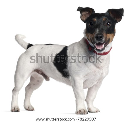 Jack Russell Terrier, 1 year old, standing in front of white background - stock photo