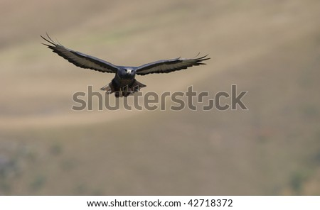 Jackal Buzzard (Buteo rufofuscus) in flight looking for prey in South Africa - stock photo