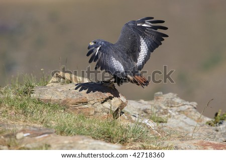 Jackal Buzzard (Buteo rufofuscus) sitting on the rock in South Africa - stock photo