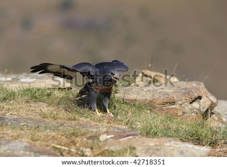 Jackal Buzzard (Buteo rufofuscus) walking on rocks in South Africa, looking aggressive - stock photo