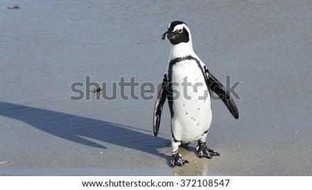 Jackass Penguin - stock photo