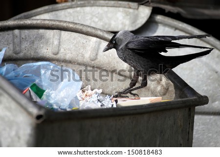 jackdaw ( Corvus monedula ) garbage dump dustbin - stock photo