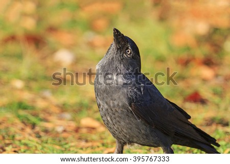 jackdaw looks to the sky with a raised beak, the bird of the autumn leaves, black bird - stock photo
