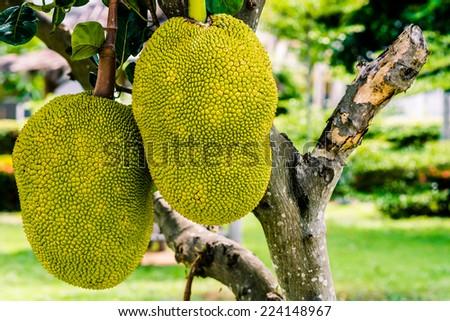 Jackfruit on the tree. Exotic big fruit with strange smell. - stock photo
